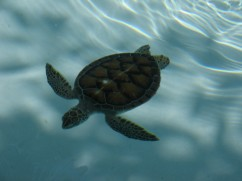 Local hawksbill turtle.