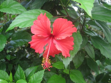 Tropical Hibiscus of all colors can be found around the island.
